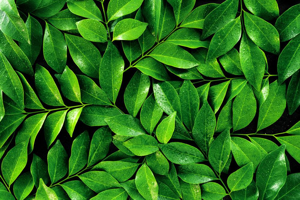 folhas de chá verde no fundo preto