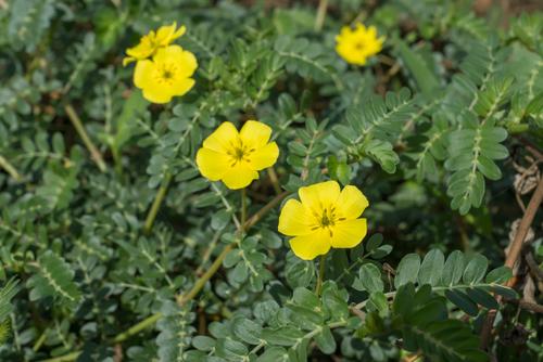 Flor amarela de tribulus terrestris
