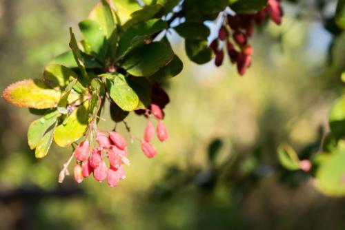 Planta berberina