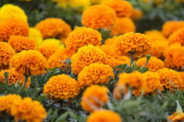 flor luteína